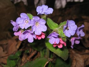 Pulmonaria officinalis_Polak