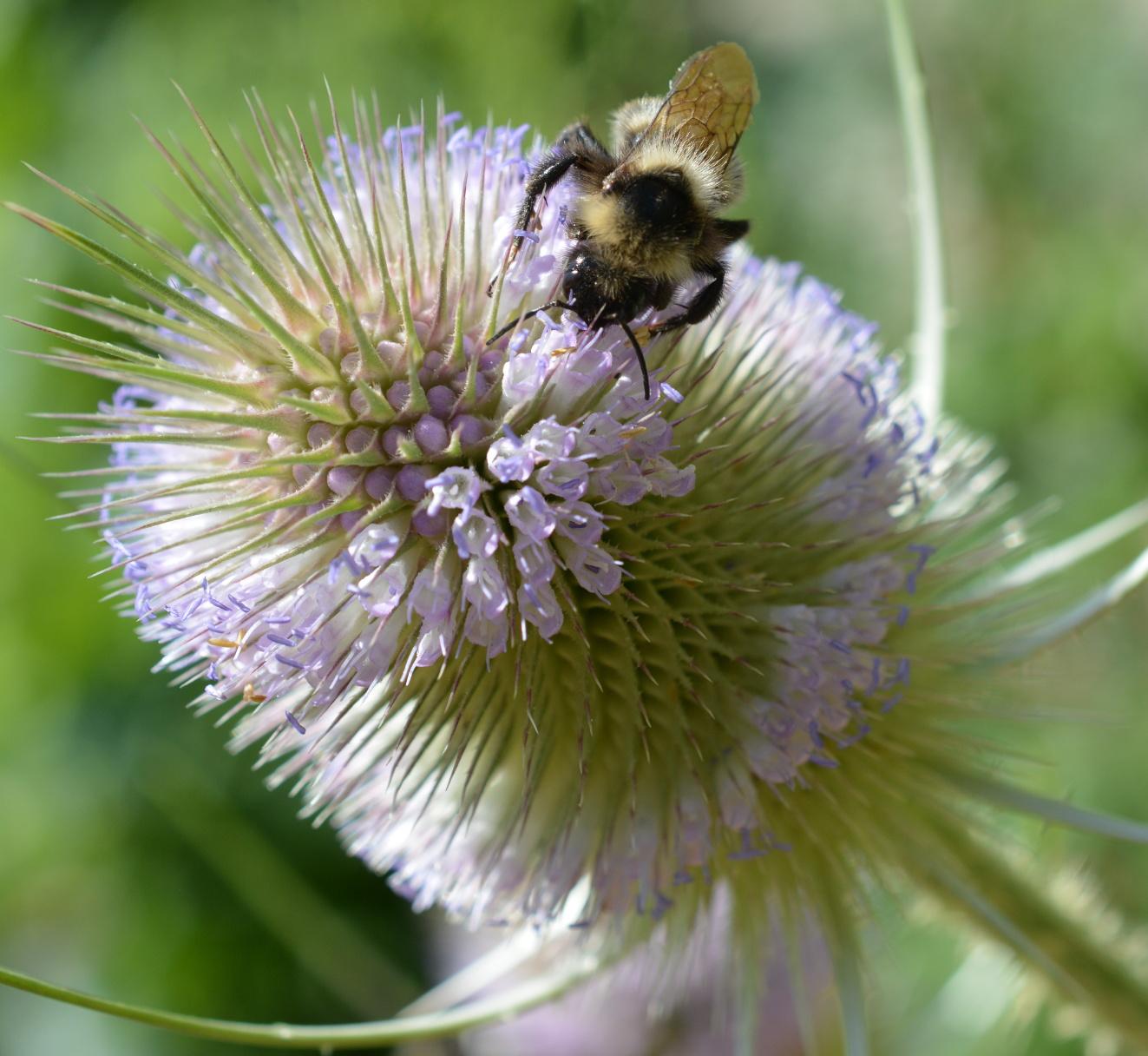 Distelblüte mit Insekt